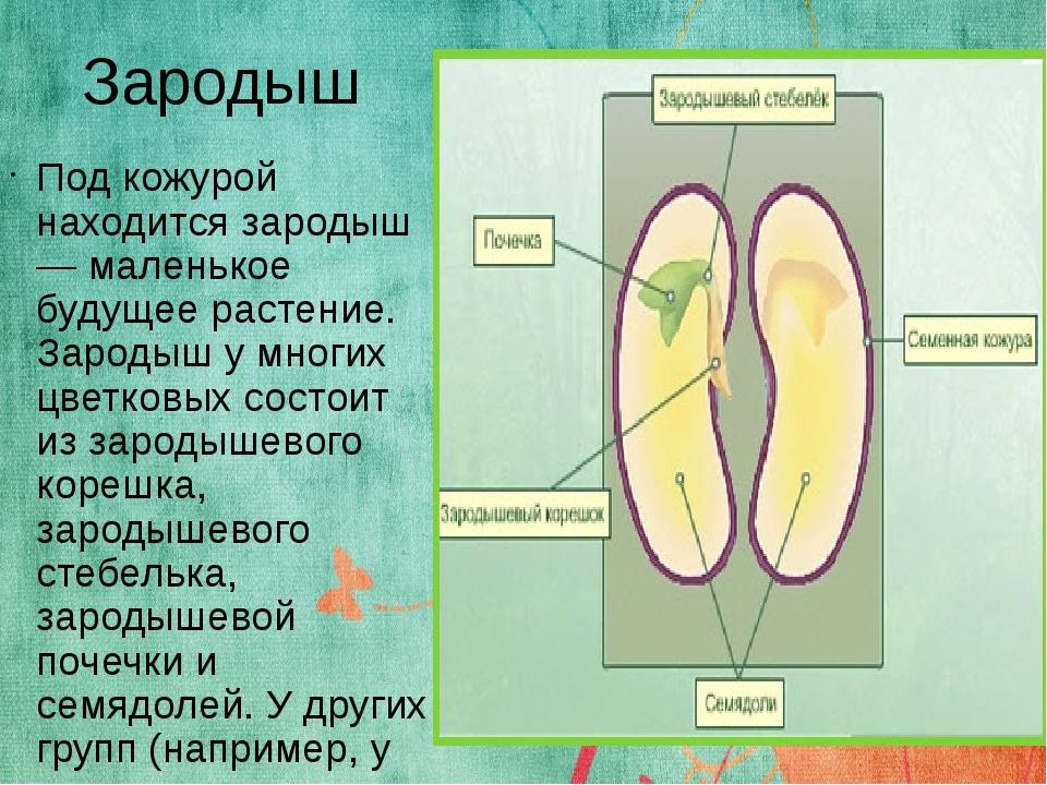 Что такое зародыш: строение, процесс формирования и развития