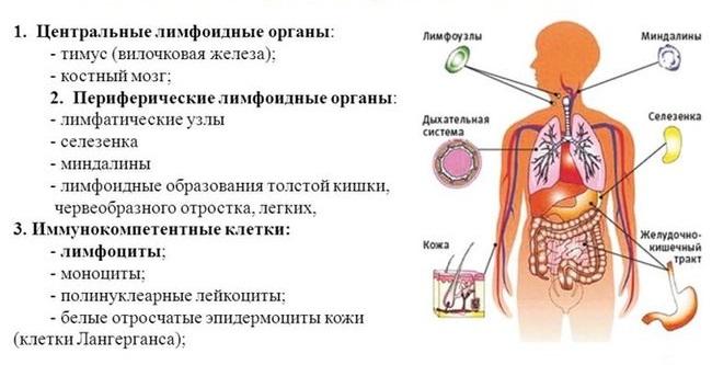 Иммунитет человека: функции, виды и органы иммунной системы