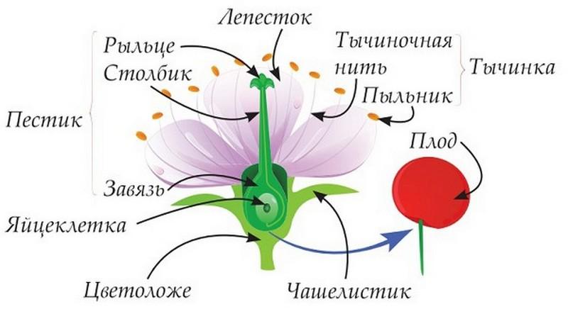 Тычинка и пестик. строение цветка: схема