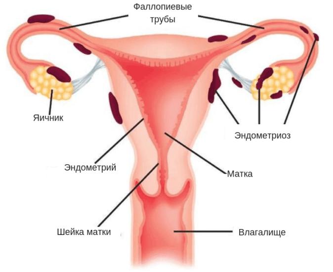 Эндометрия матки: что это такое доступным языком