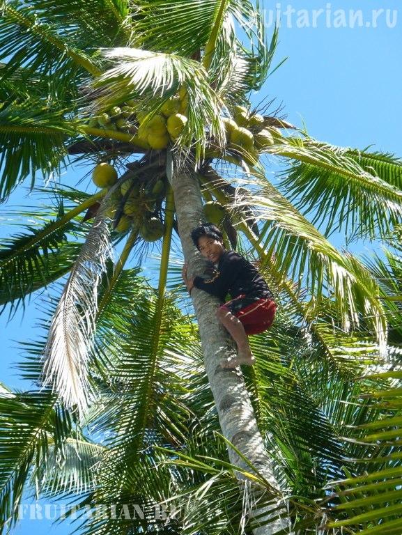 Что собой представляет кокосовый орех