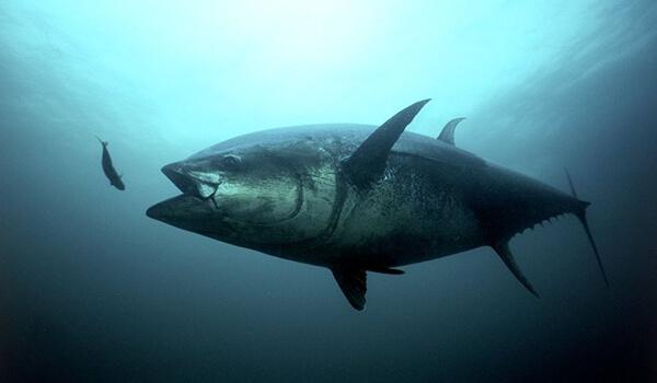 Австралийский тунец