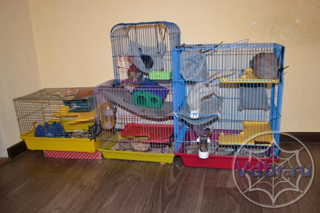 Крысы — википедия