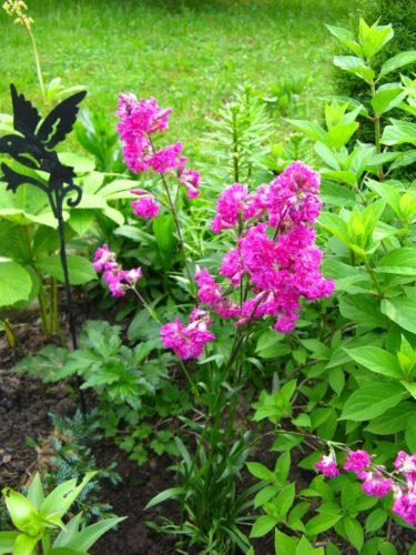 Смола лиственницы: польза и вред жевательной живицы, лечебные свойства, как она называется