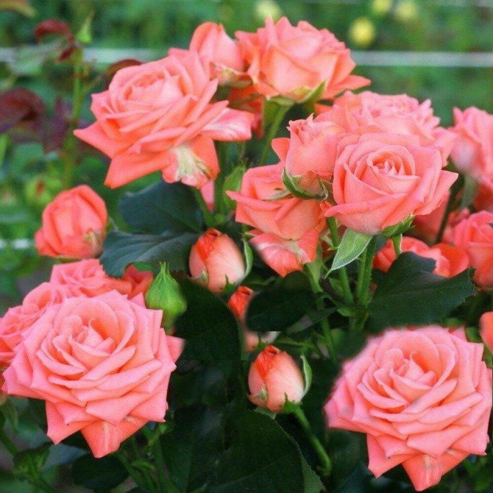 Розовые брызги или розы спрей: описание, сорта, посадка и уход | топсадовник