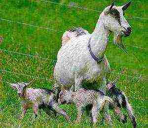 Домашняя коза — википедия. что такое домашняя коза