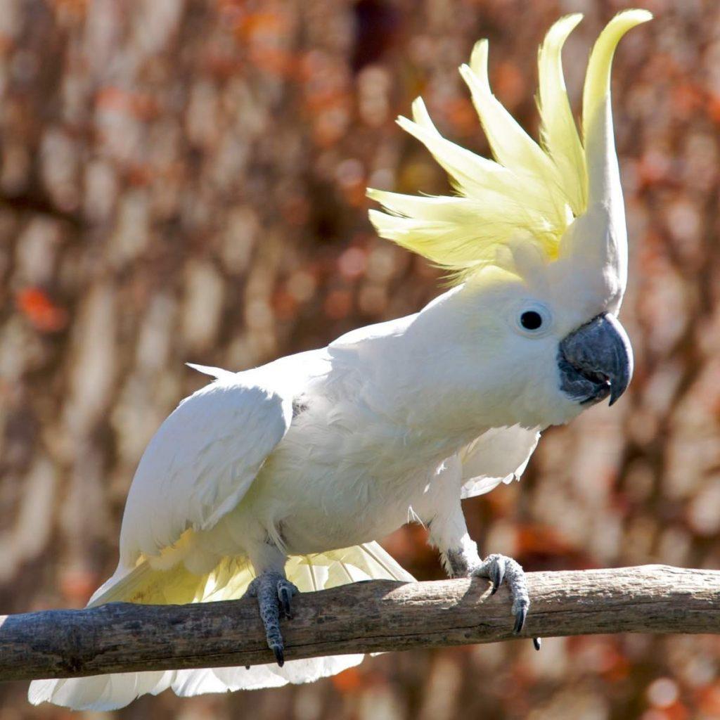 Какаду — википедия. что такое какаду
