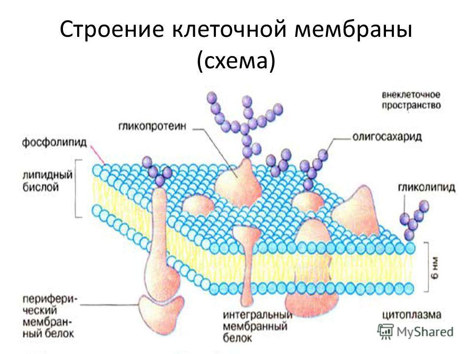 Клеточная мембрана – наружная структура, отличие от клеточной стенки, жидкостно-мозаичная модель