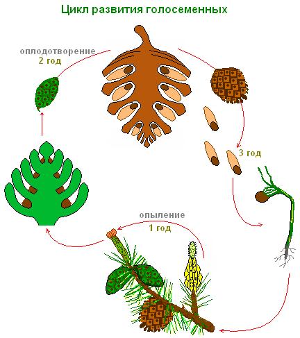 К отделу голосеменных относятся растения
