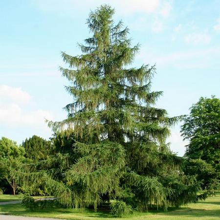 Лиственница: фото и описание дерева | строительство. деревянные и др. материалы