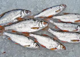 Плотва: нерест, ловля и фото рыбы, среда обитания, образ жизни