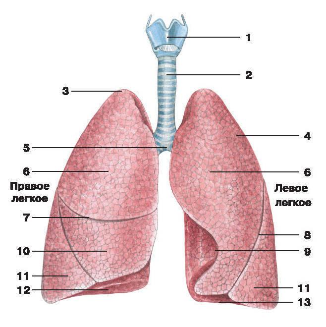 Болезни лёгких у человека: список и их симптомы, лечение, профилактика