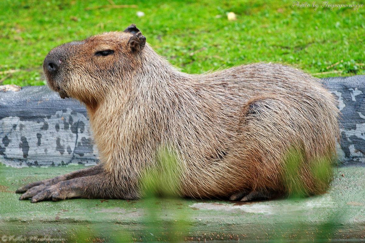 Капибара: ареал обитания, образ жизни, фото животного