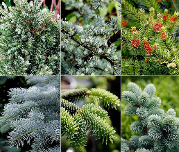Хвойные растения для дачи: разнообразием форм и оттенков