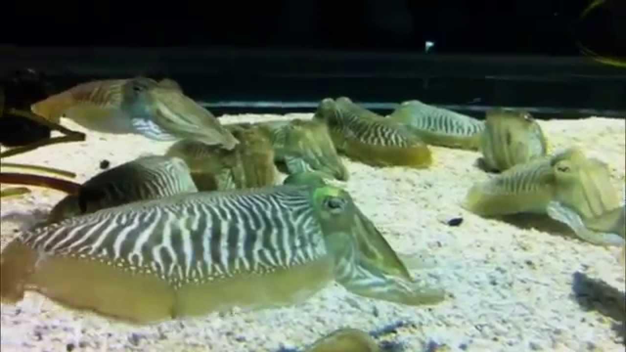 Каракатица фараона: фото, описание, образ жизни обитателя океанических глубин