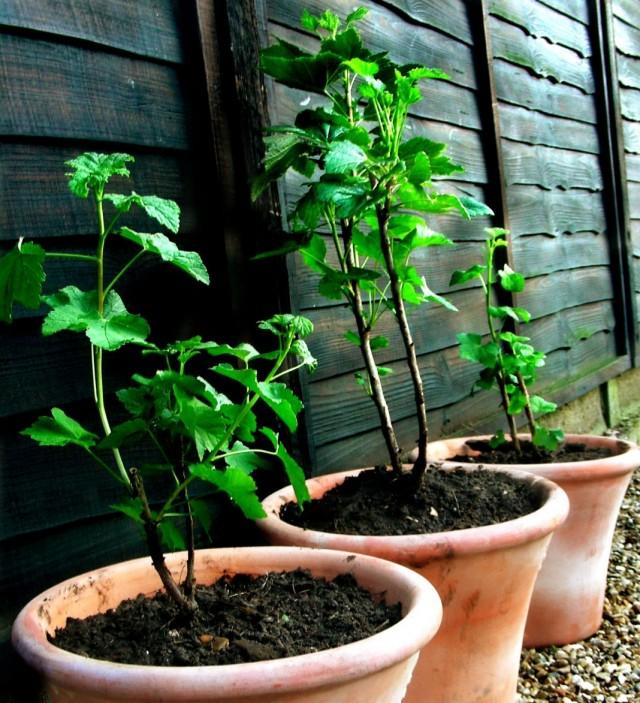 Что такое черенок? размножение комнатных растений черенкованием. какие растения размножаются черенками