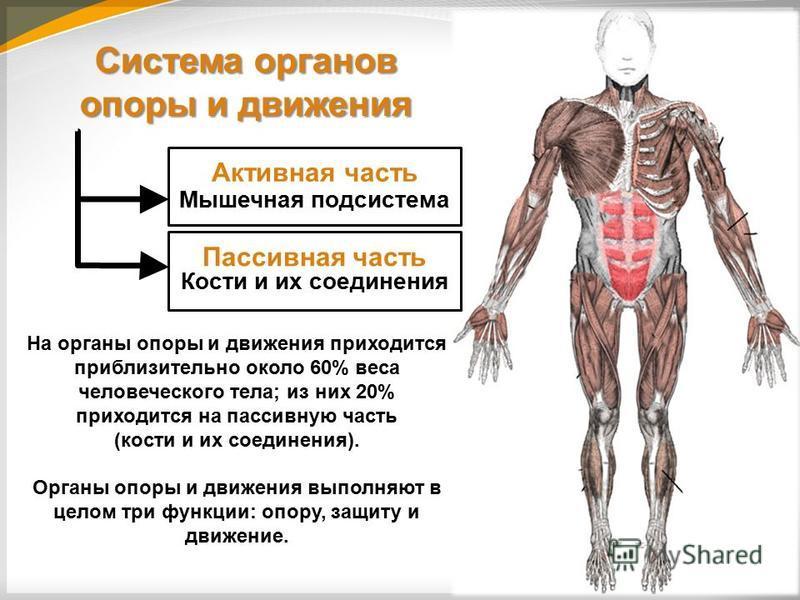 Анатомия человека: строение внутренних органов