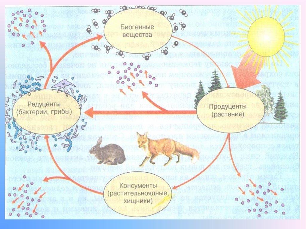 Экосистема (биогеоценоз), ее компоненты