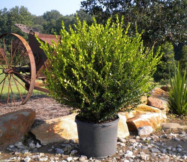 Описание декоративного кустарника самшит (буксус): виды растения, фото, необходимый уход