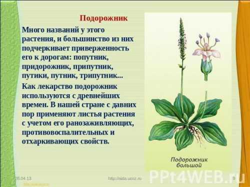 Кубышка - это... описание, фото растения