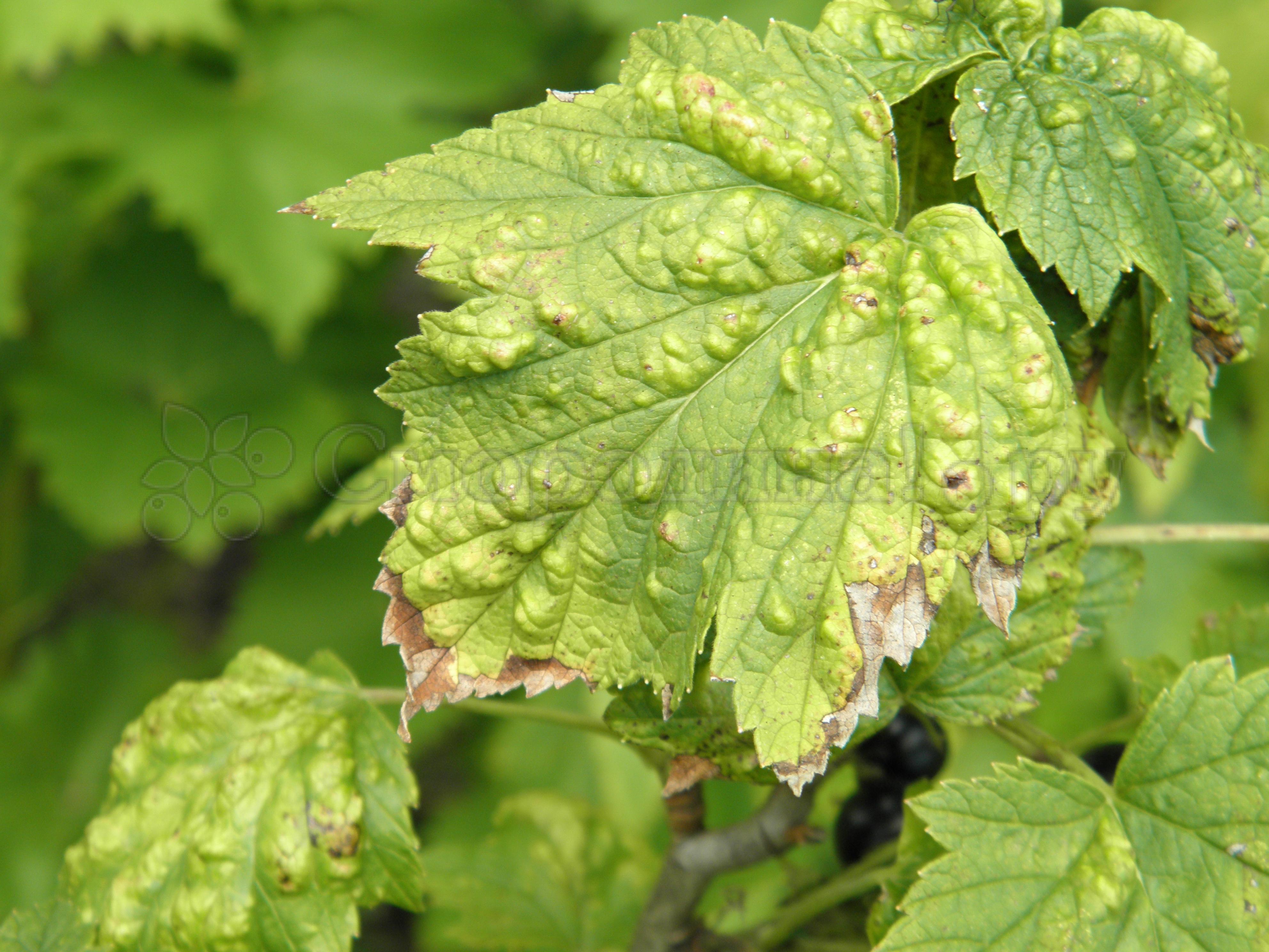 Красные листья на смородине: как бороться, чем лечить, народные средства, препараты