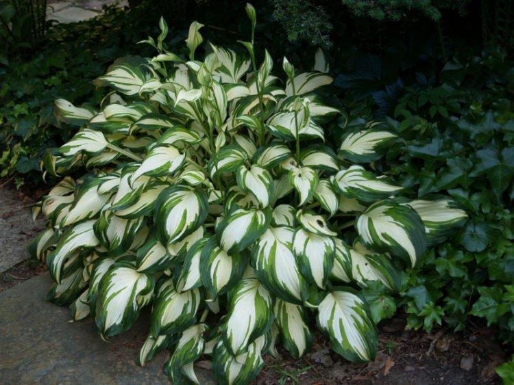 Хоста (растение) — википедия