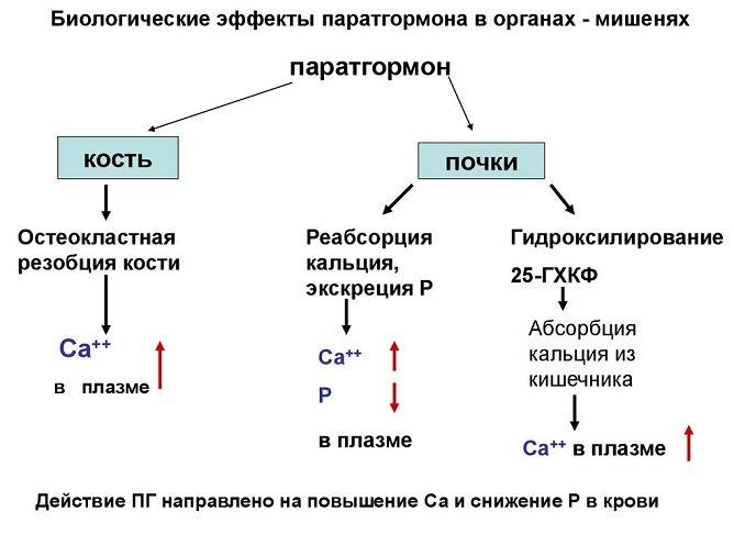 Альдостерон: норма и функции гормона в организме