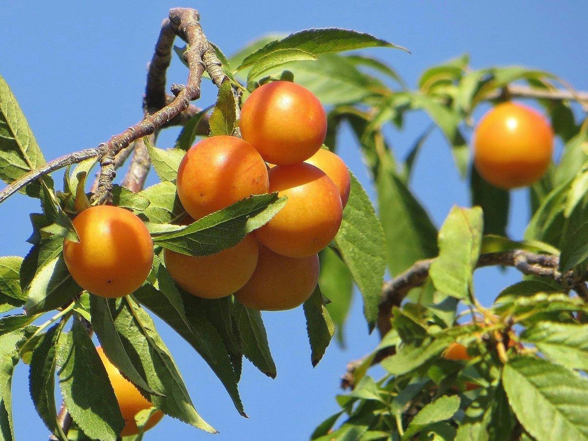 Свойства алычи: польза и противопоказания употребления плодов сливы