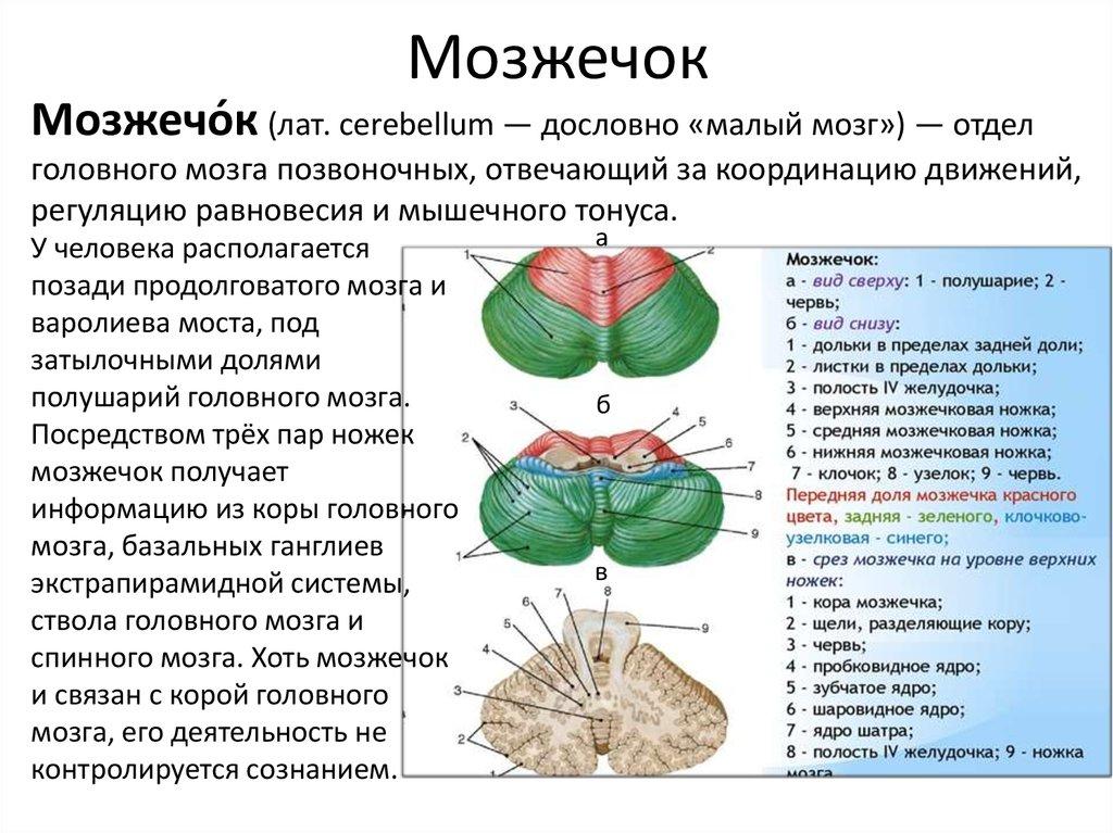 Атрофия мозжечка: причины, симптомы, методы лечения, последствия, отзывы
