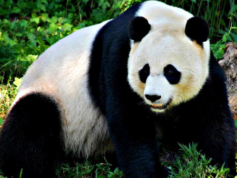 Панда большая и маленькая — википедия. что такое панда большая и маленькая
