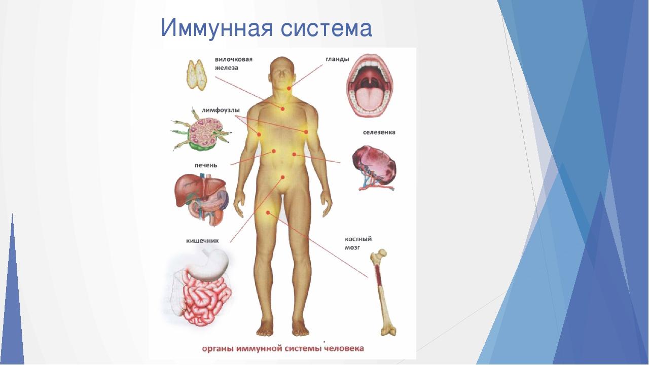 Иммунная система: что это, ее органы и функции