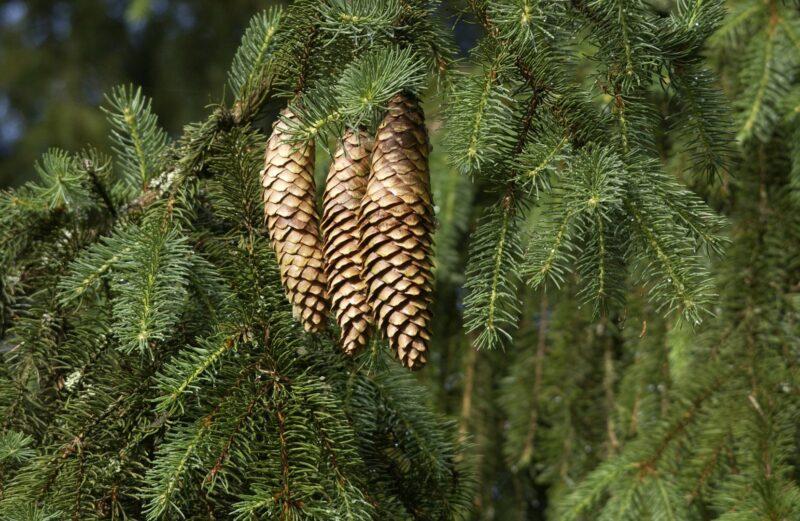 Ель (древесина) — википедия. что такое ель (древесина)