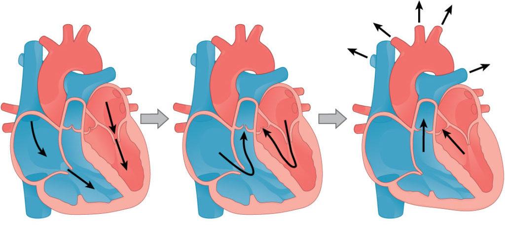 Систола и диастола: как работает сердце?