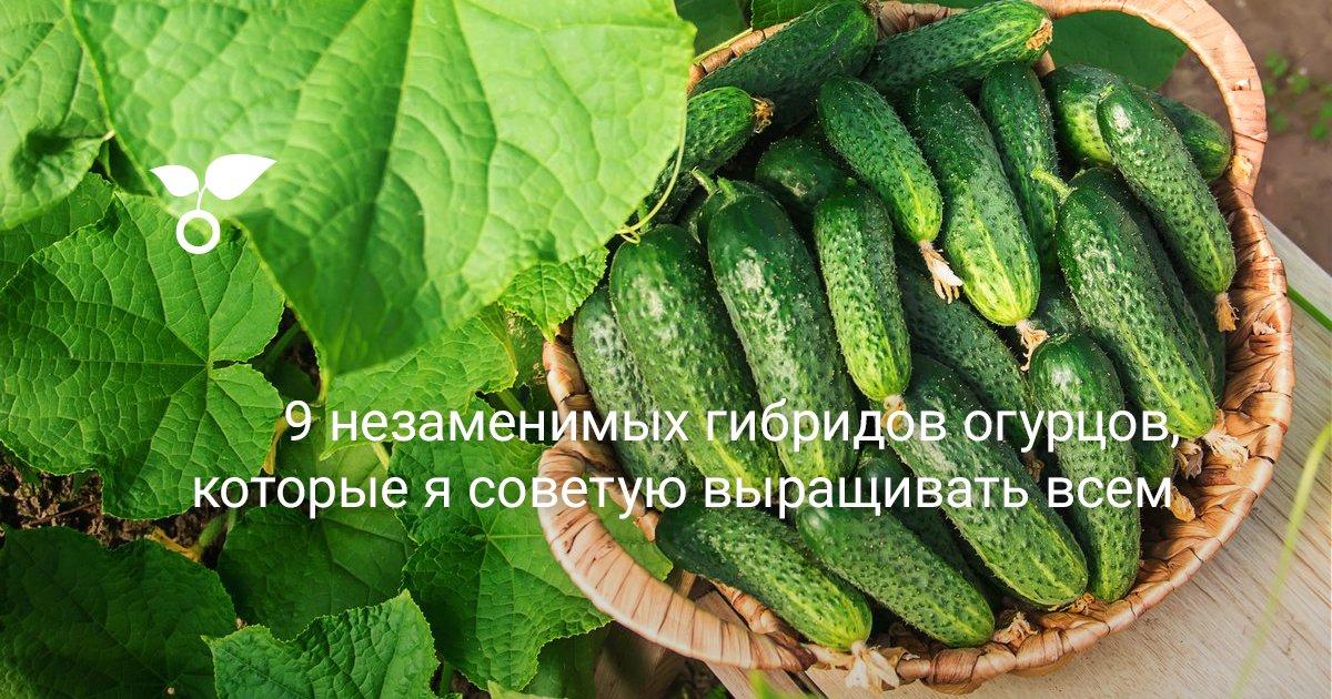 Партенокарпические огурцы: выращивание и формирование