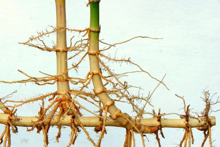 Общее строение лука: что такое луковица, строение луковицы, корневая система лука