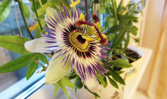 Маракуйя — полезные свойства и противопоказания, как едят и выращивают в домашних условиях