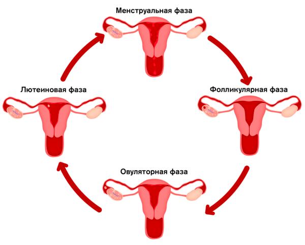 Короткий менструальный цикл – причины и лечение