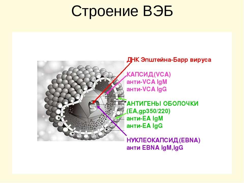 Вирус эпштейна-барра у детей и взрослых - симптомы и лечение - docdoc.ru