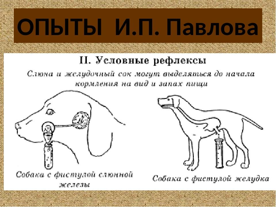Опыт павлова с собакой кратко. подробное описание эксперимента с собакой павлова и что это такое