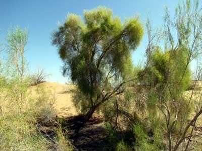 Саксаул — растение пустыни