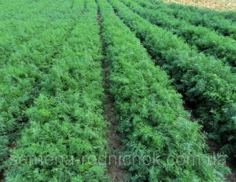 Укроп — описание, выращивание, полезные свойства