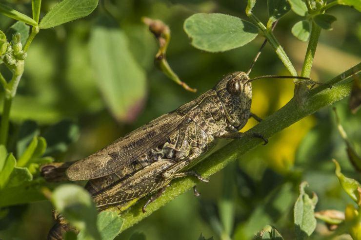 Саранча: как одно насекомое превращается в природное бедствие - bbc русская служба