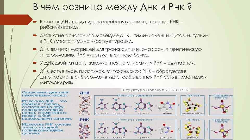Рибонуклеиновая кислота — википедия. что такое рибонуклеиновая кислота