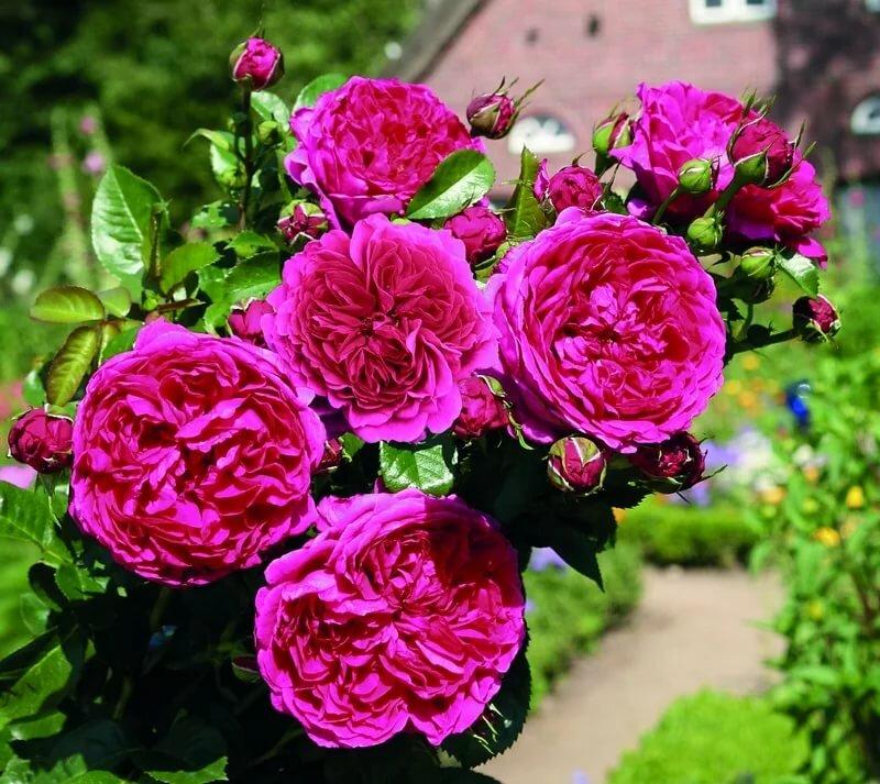 Розы шрабы: что это такое, описание