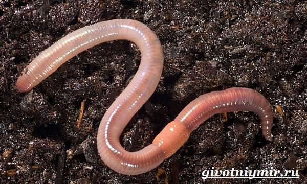 Ленточные черви у человека: симптомы, причины, лечение