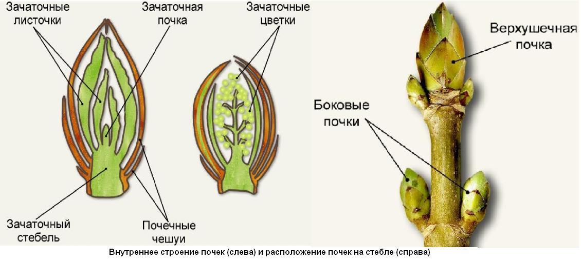 Размер почки дерева - сайт по биологии