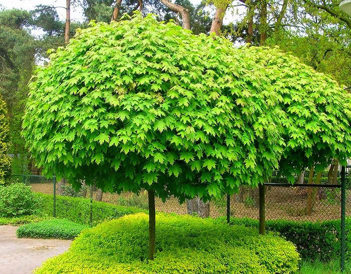 Многообразие видов клена, свойства и применение древесины