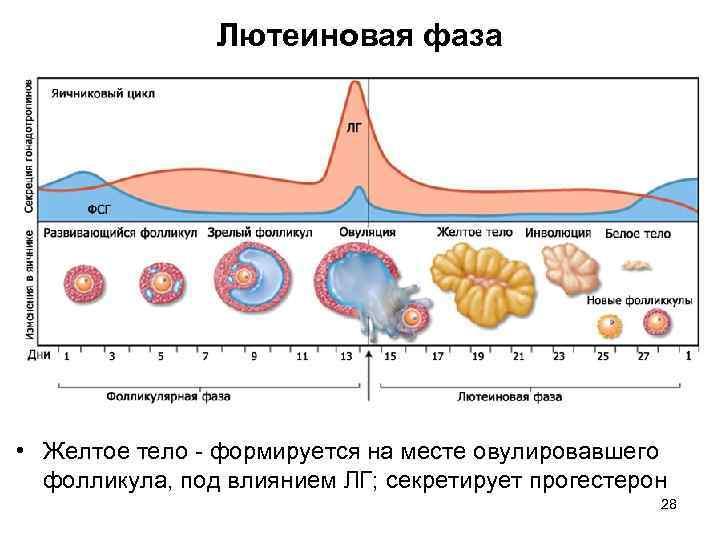 Короткая лютеиновая фаза. что это и как влияет на беременность?