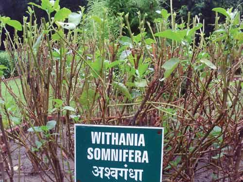 Лечебные свойства индийского женьшеня или ашваганды, противопоказания