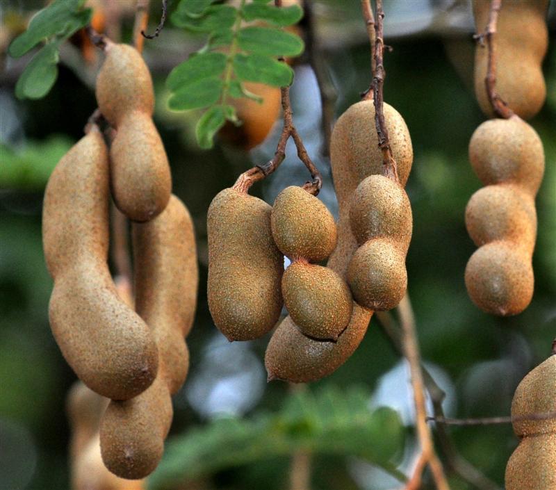 Тамаринд: уход в домашних условиях, выращивание из семян, фото